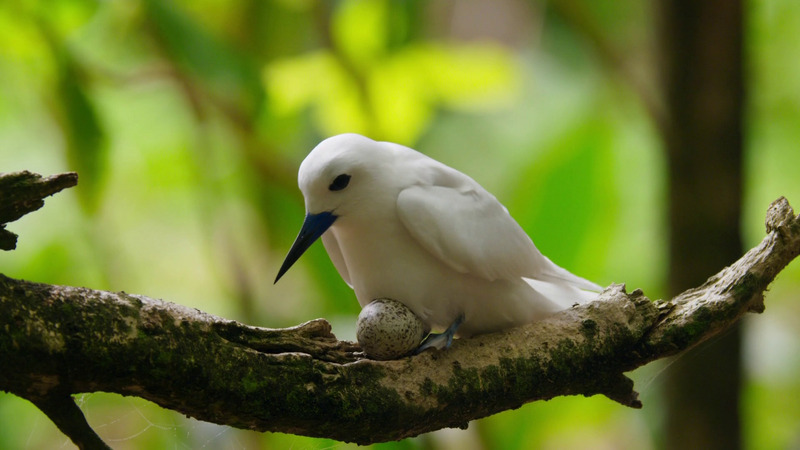 White tern (Gygis alba candida) incubates on bare branch; DISPLAY FULL IMAGE.