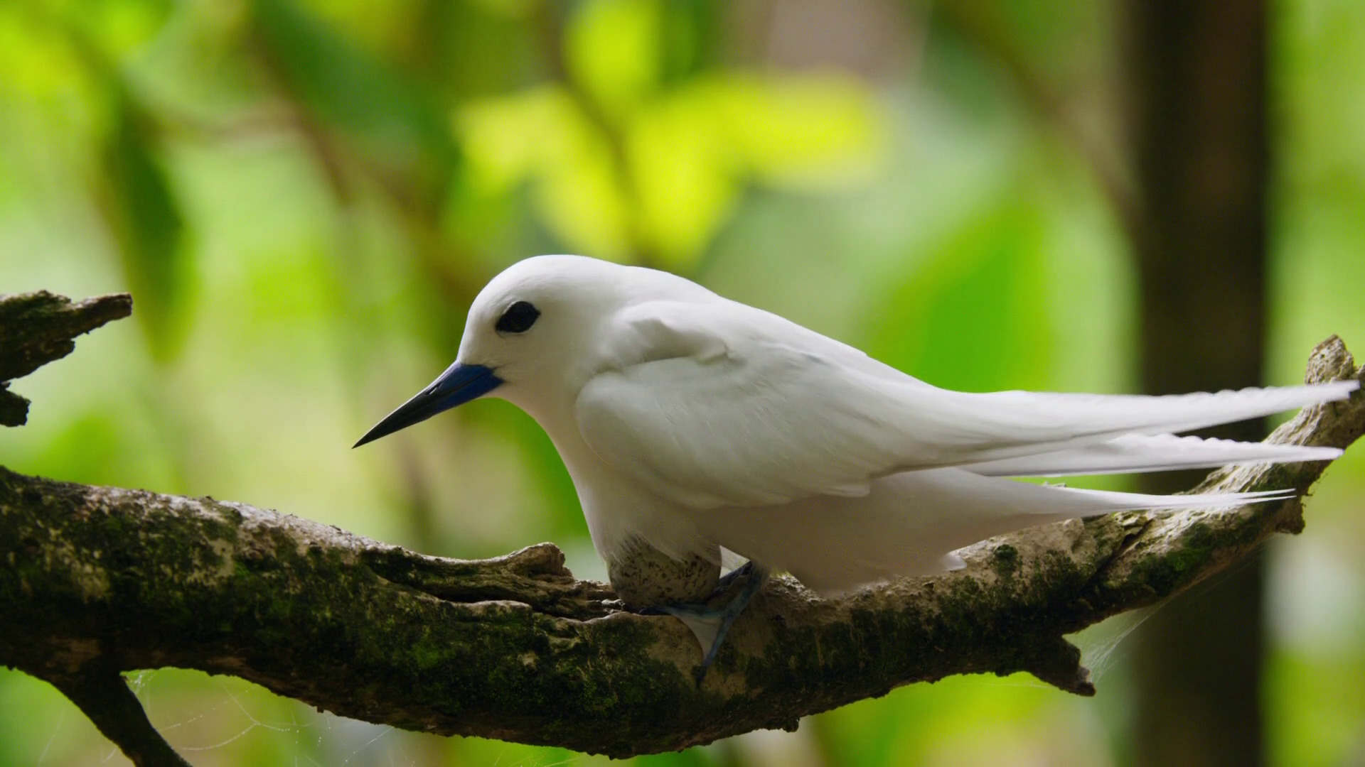 White tern (Gygis alba candida) incubates on bare branch; Image ONLY