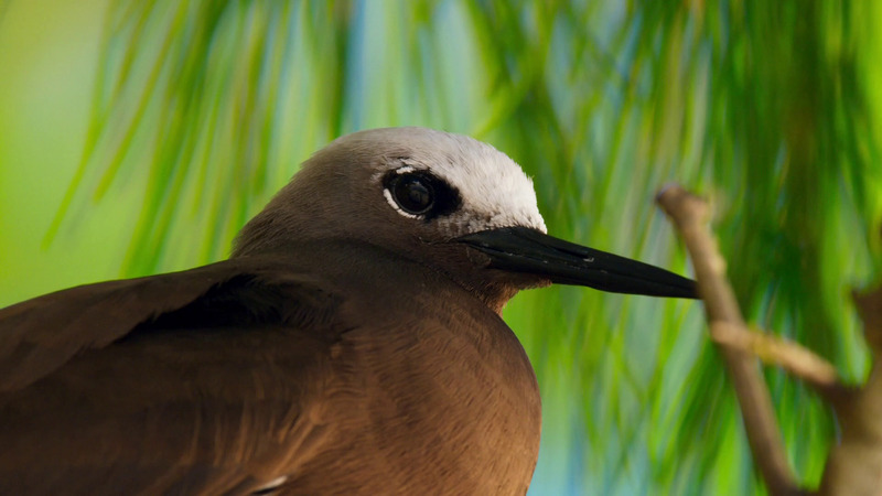 Brown noddy, Common noddy (Anous stolidus); DISPLAY FULL IMAGE.