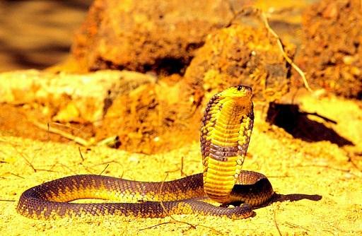 Snouted cobra.jpg
