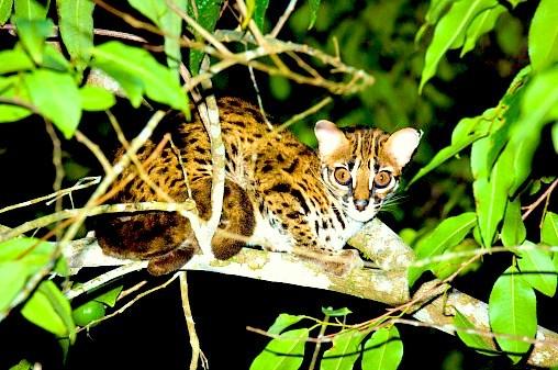 Leopard cat.jpg