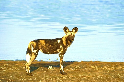African hunting dog; Image ONLY