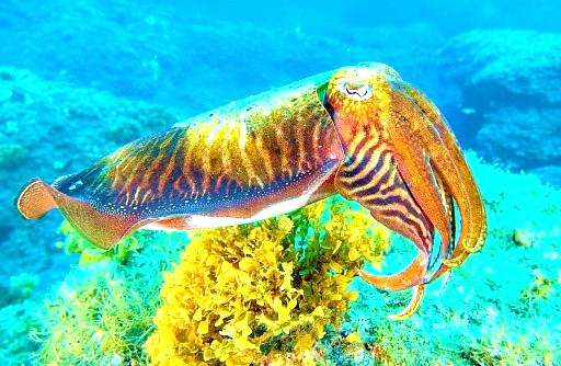 Common cuttlefish (Sepia officinalis); Image ONLY