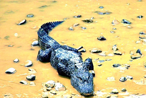 Chinese alligator (Alligator sinensis); Image ONLY
