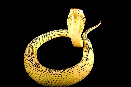 Equatorial spitting cobra (Naja sumatrana); Image ONLY