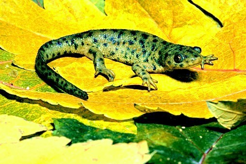 Sharp-ribbed salamander (Pleurodeles waltl); Image ONLY