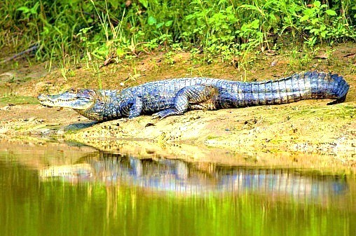 Spectacled caiman (Caiman crocodilus); Image ONLY