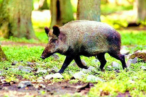Wild boar; Image ONLY
