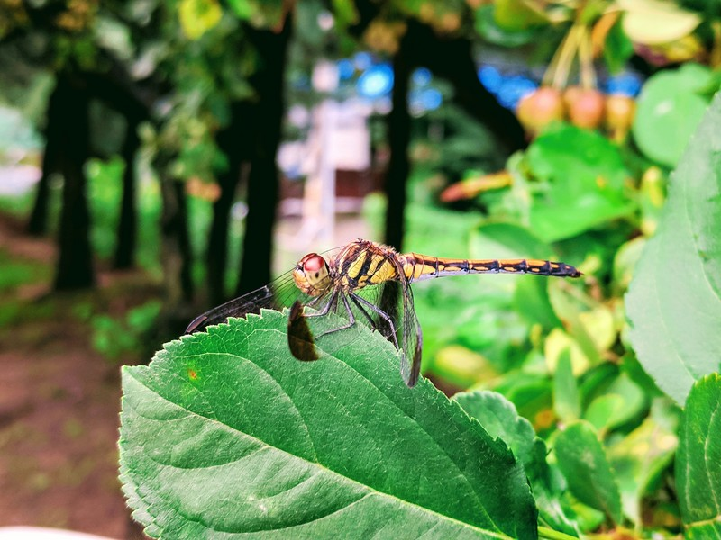 Dragonfly - Sympetrum infuscatum - 깃동잠자리; DISPLAY FULL IMAGE.