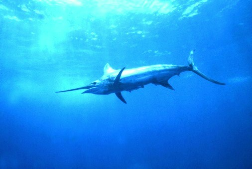Blue marlin (Makaira nigricans); Image ONLY