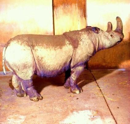 Sumatran rhinoceros.jpg