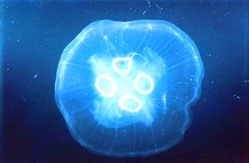 Common jellyfish.jpg