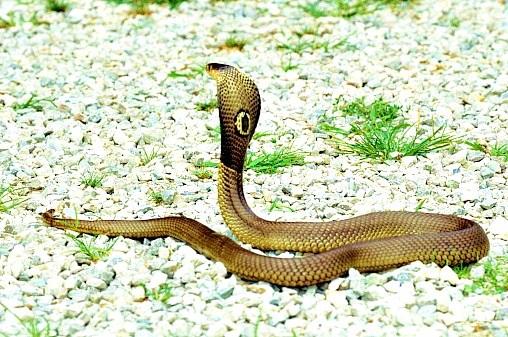 Monocled cobra.jpg