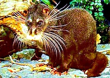 Otter civet (Cynogale bennettii); Image ONLY