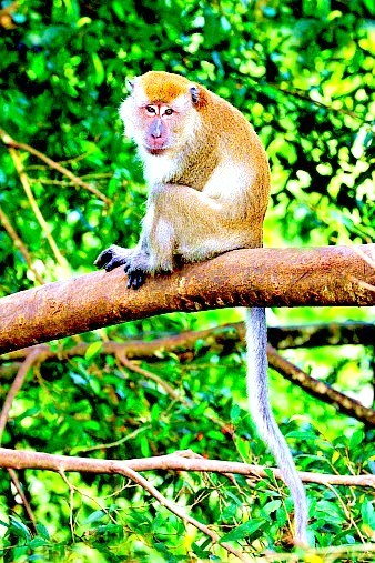 Crab-eating macaque (Macaca fascicularis); Image ONLY