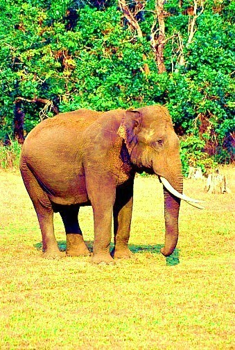 Asian elephant (Elephas maximus); Image ONLY