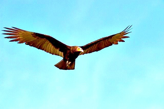 Lesser yellow-headed vulture.jpg