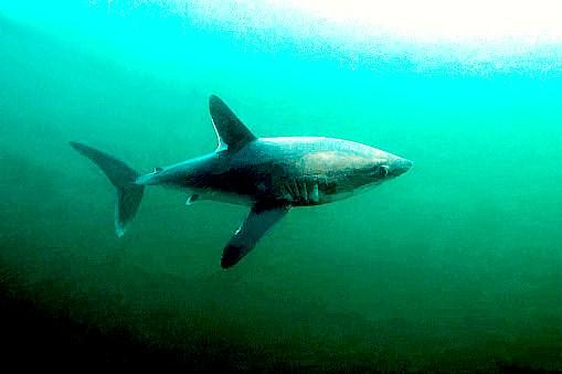 Porbeagle shark.jpg