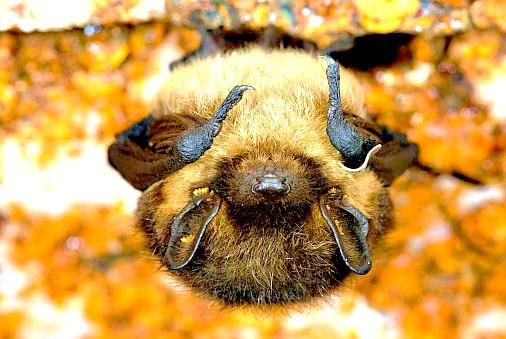 Northern bat.jpg