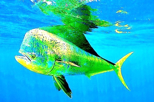 Common dolphinfish (Coryphaena hippurus); Image ONLY