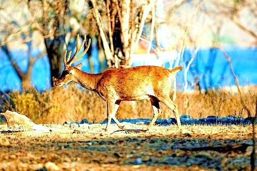 Timor deer.jpg