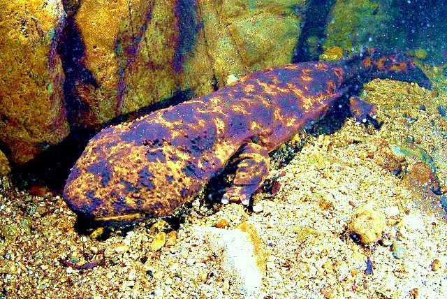 Japanese giant salamander (Andrias japonicus); Image ONLY