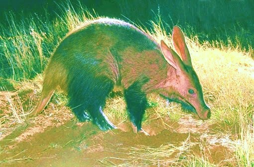 Aardvark; Image ONLY