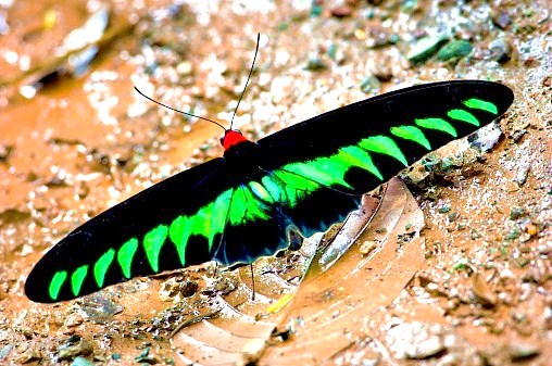 Rajah Brooke's birdwing.jpg