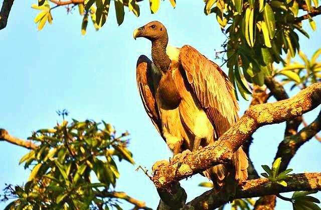 Slender-billed vulture.jpg