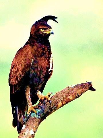 Long-crested eagle.jpg