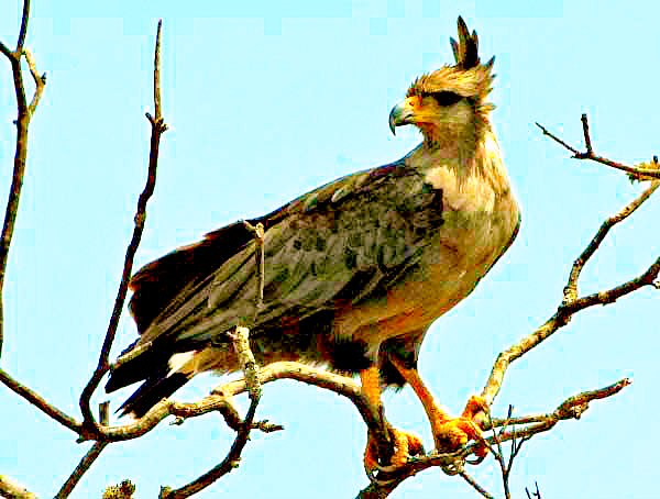 Crowned eagle (Buteogallus coronatus); Image ONLY