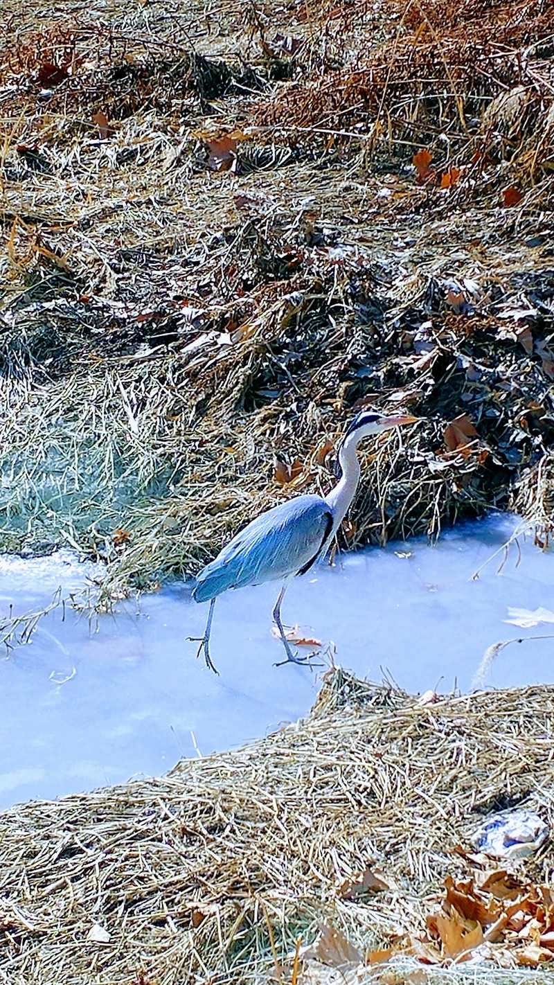 Grey heron (Ardea cinerea) on ice; DISPLAY FULL IMAGE.