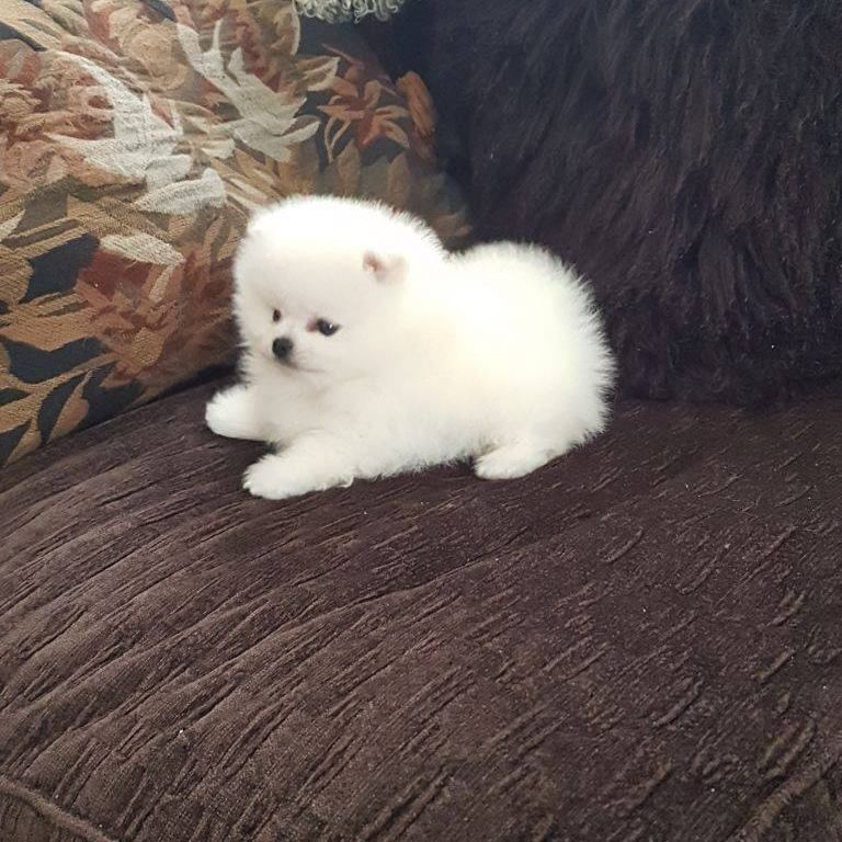 Micro Mini Teacup Pomeranian Puppies For Sale Text (813) 279-8272; Image ONLY