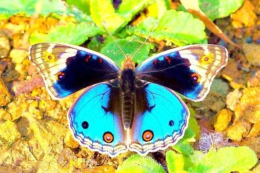 Blue pansy.jpg