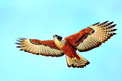 Rufous-bellied eagle.jpg