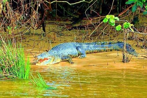 Estuarine crocodile.jpg