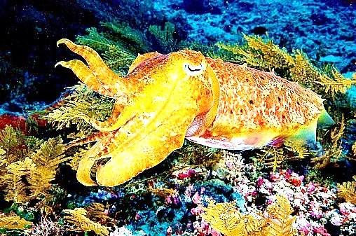 Pharaoh cuttlefish.jpg