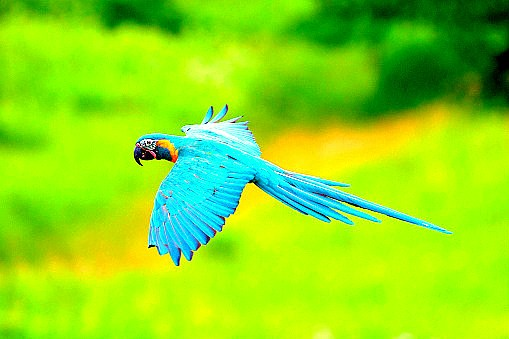 Blue-throated macaw.jpg