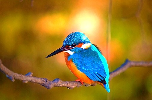 Eurasian kingfisher (Alcedo atthis); Image ONLY