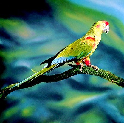 Red-fronted macaw (Ara rubrogenys); Image ONLY