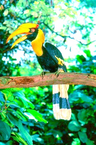 Great hornbill (Buceros bicornis); Image ONLY