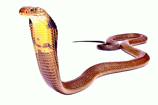 King cobra (Ophiophagus hannah); Image ONLY