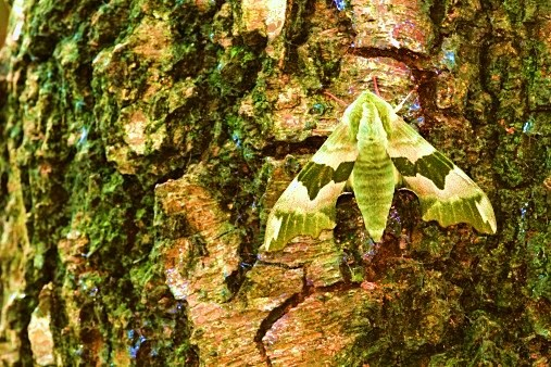 Lime hawk-moth.jpg