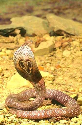 Indian cobra (Naja naja); Image ONLY