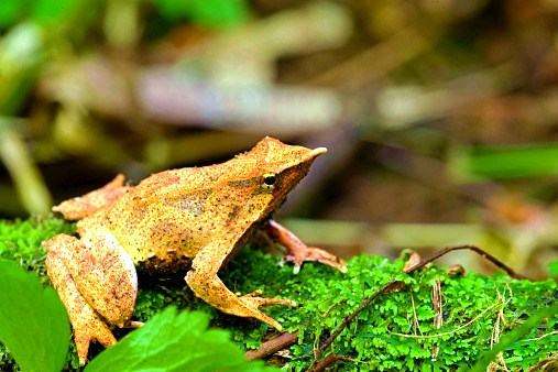 Darwin's frog.jpg