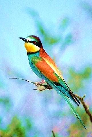 European bee-eater.jpg