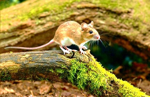 Yellow-necked mouse.jpg
