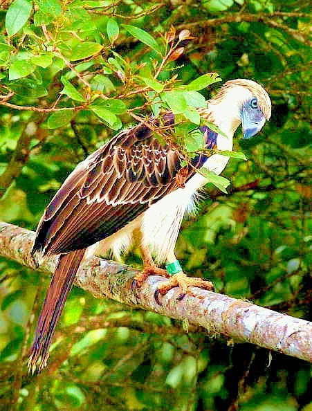 Philippine eagle (Pithecophaga jefferyi); Image ONLY