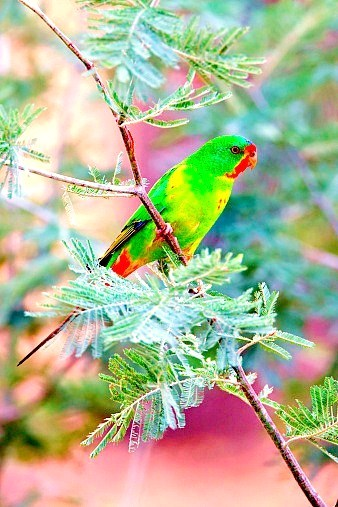 Swift parrot (Lathamus discolor); Image ONLY
