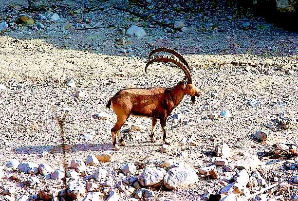 Nubian ibex.jpg